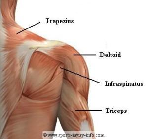 Shouler and Upper Torso Muscles