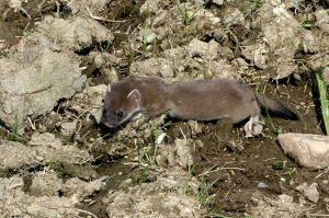 The Stoat-- DJ A.D.D. and I spent twenty minutes talking about it. No joke.